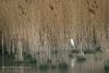 Urban Egret