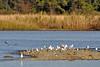 Ring-billed Gulls on sandbar Jamestown Naitonal Park Virginia