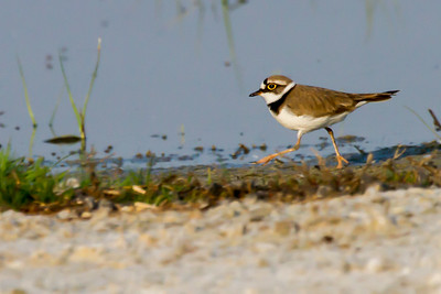 Little Ringed Plover (Flussregenpfeifer)