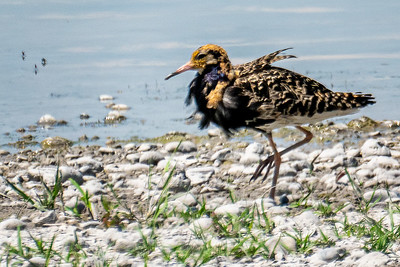 Ruff (Kampfläufer) with tatters of breading plumage
