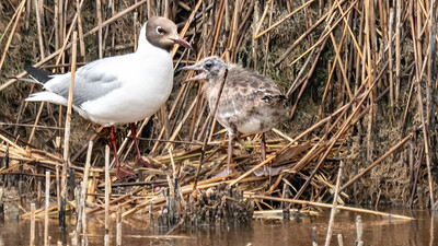 Black-headed gull - Lachmöve, with chick