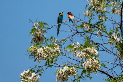 European Bee-Eaters