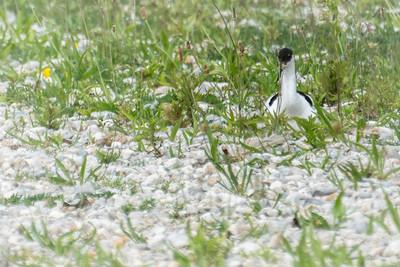 Pied Avocet - Säbelschnäbler - nesting