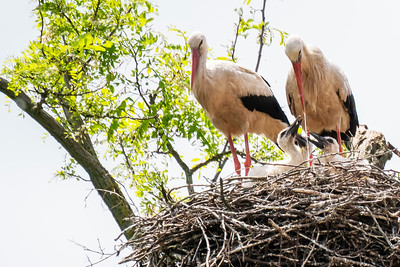White Storks with Chicks