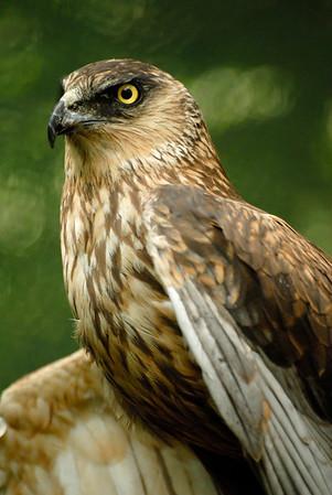 Falco di pallude