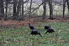 10.16.2010 Four Tom turkeys feeding in Cades Cove, Smokey Mountain National Park.  You can't tell in this picture but it raining.