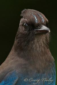 Steller Jay