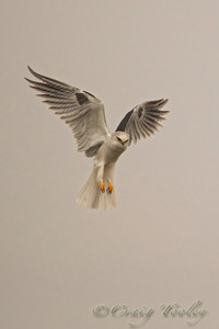 Whitetailed Kite