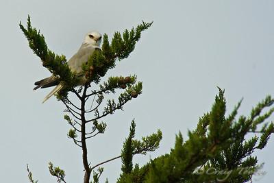 Whitetailed Kite