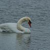 Mute Swan, Lake Morton, Lakeland Florida