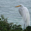 Great Egret,  Lake Morton, Lakeland Florida