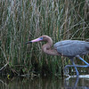 Reddish Egret, Black Point Drive, Merritt Island