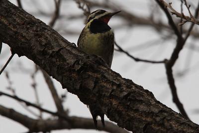Yellow-bellied Sapsucker.  Carondelet Park.