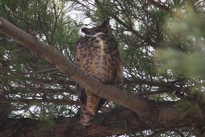 Great Horned Owl.  Carondelet Park.