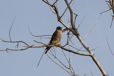 Merlin.  Along the River Des Peres.