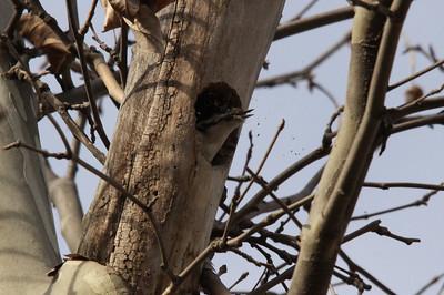 Downy Woodpecker housekeeping.  Carondelet Park.