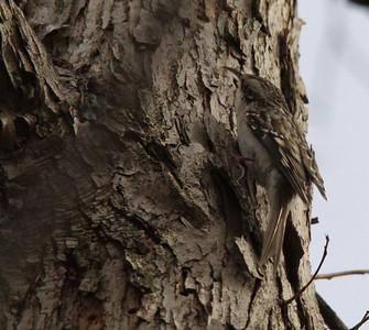 Brown Creeper.  Carondelet Park.