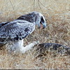 Martial Eagle attacking giant Monitor Lizard