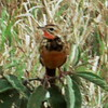 Rosy-Breasted Longclaw