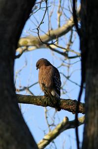 Red shouldered hawk, Hervey Preserve.