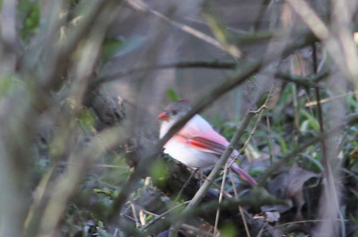 Leucistic northern cardinal, River Bluff Trail