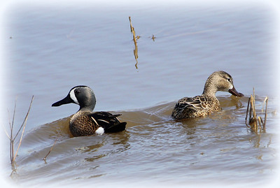 Blue-winged Teal, Cass County Rd 350N