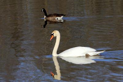 Mute Swan, France Park