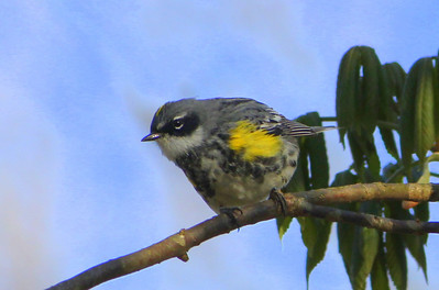 Yellow-rumped warbler, River Bluff Trail
