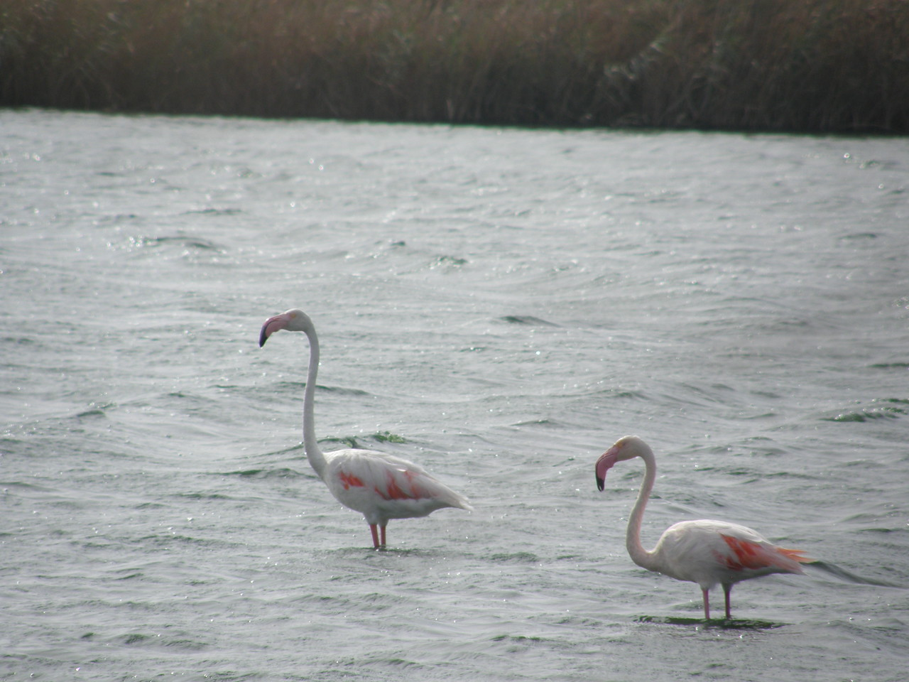 Pink_Flamingos_CabodeGata_Sept2007