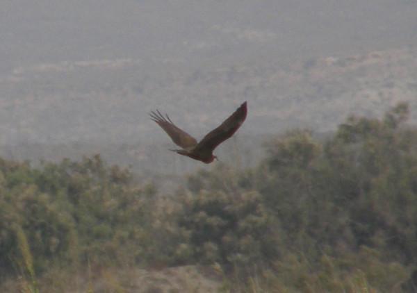 Osprey2_CabodeGata_Sept2007