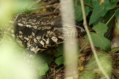 "Overo Lizard (also known as ""Iguana"") , White-and-black Tegu Lizard"