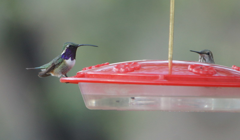 Lucifer Hummingbird (Left) - Ash Canyon B&B, Arizona