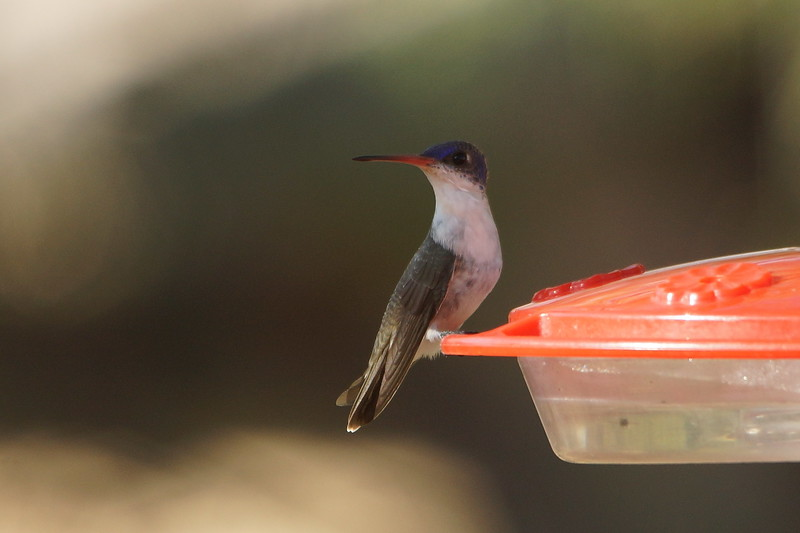 Violet-crowned Hummingbird - Ash Canyon B&B, Arizona