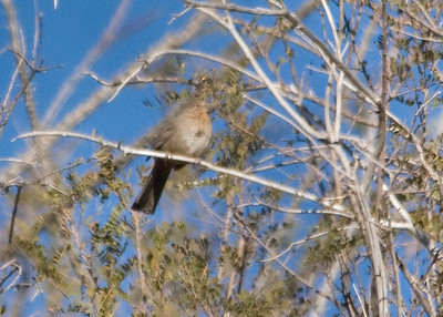 My first photo of a distant Canyon Towhee. Thankfully i had significantly better views on a return visit in 2015.