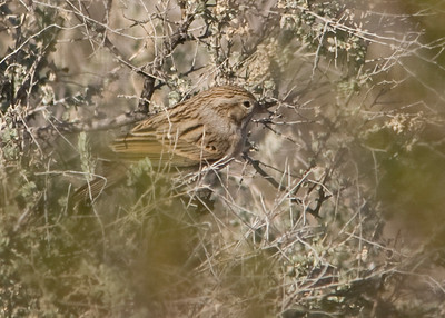 Brewer's Sparrow - Buckeye, AZ