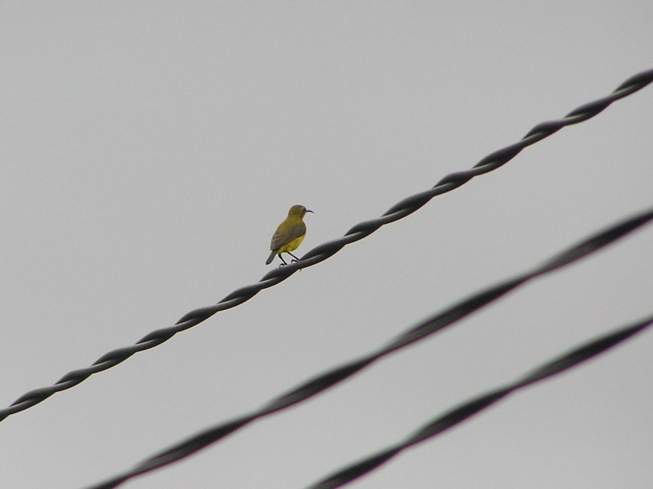 olive backed sunbird bali aug 2010