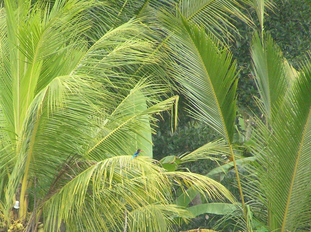 java kingfisher 5 bali aug 2010