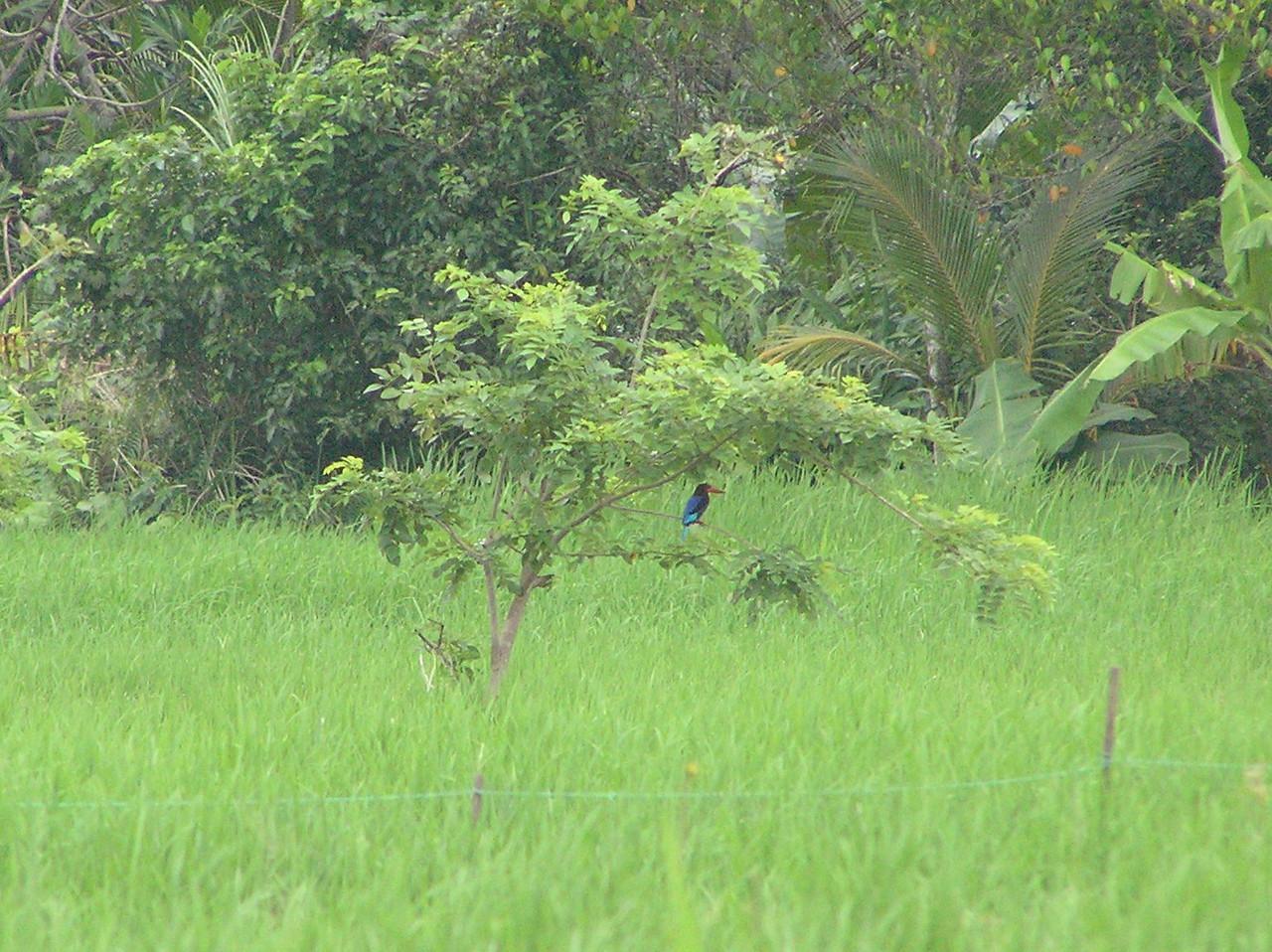 java kingfisher 3 bali aug 2010