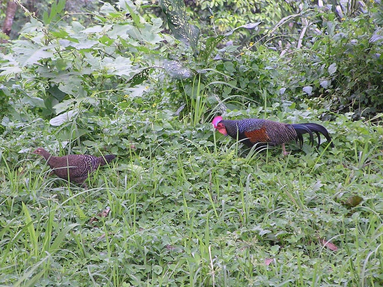 pheasant bali aug 2010