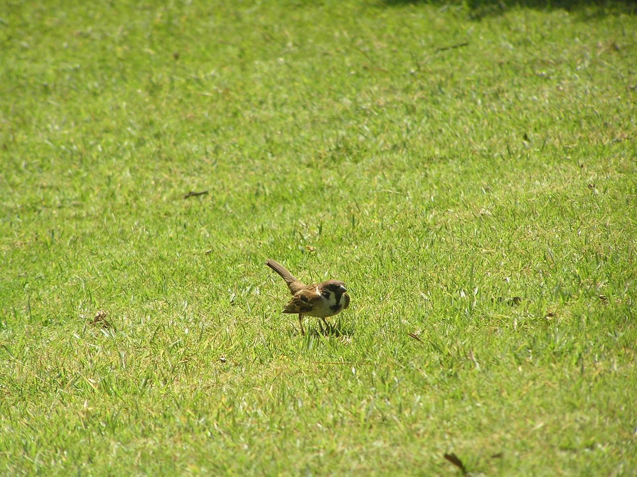 tree sparrow bali aug 2010