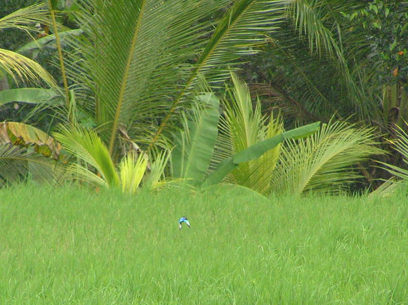 java kingfisher in flight bali aug 2010
