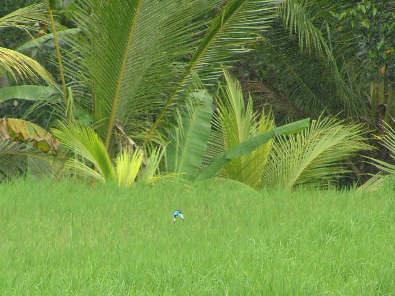 java kingfisher in flight bali aug 2010