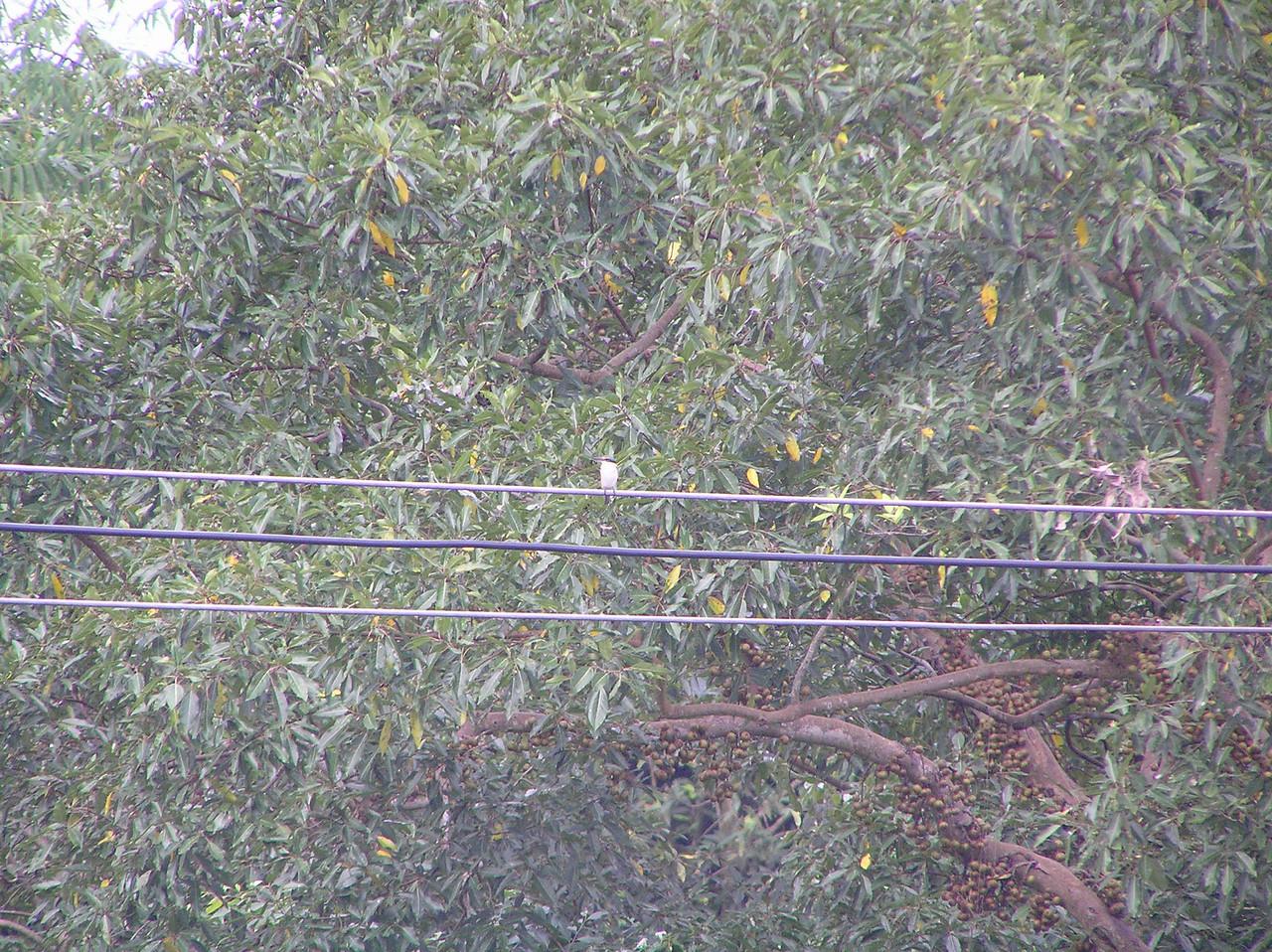 sacred kingfisher Bali Aug 2010