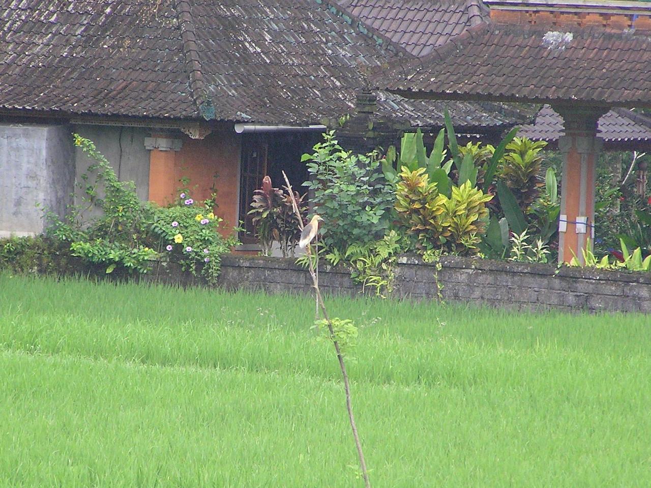 Javan Pond Heron Bali Aug 2010