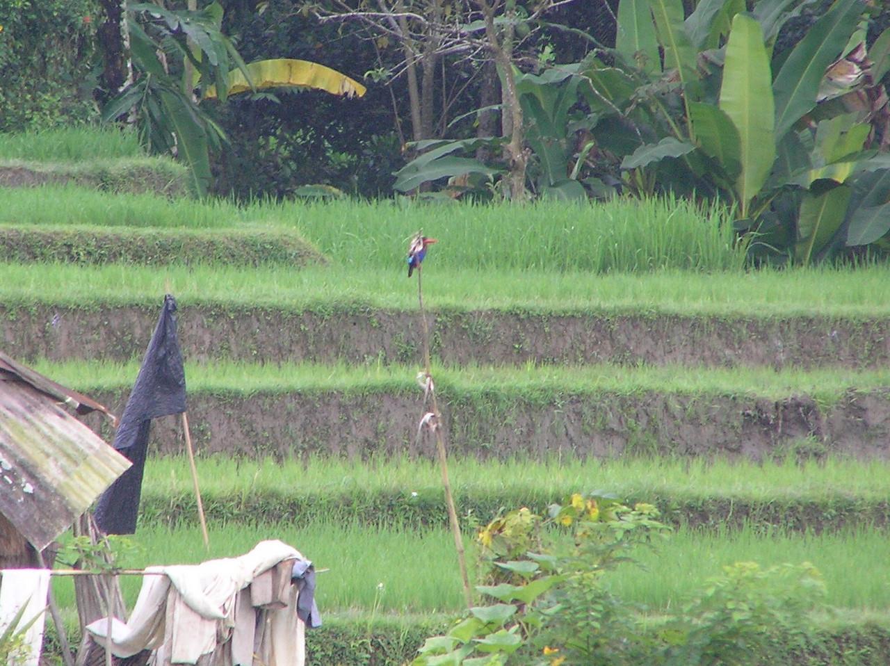 java kingfisher 2 bali aug 2010