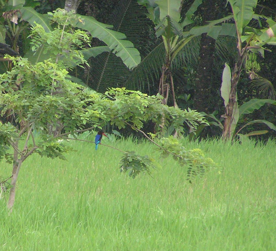 java kingfisher 4 bali aug 2010