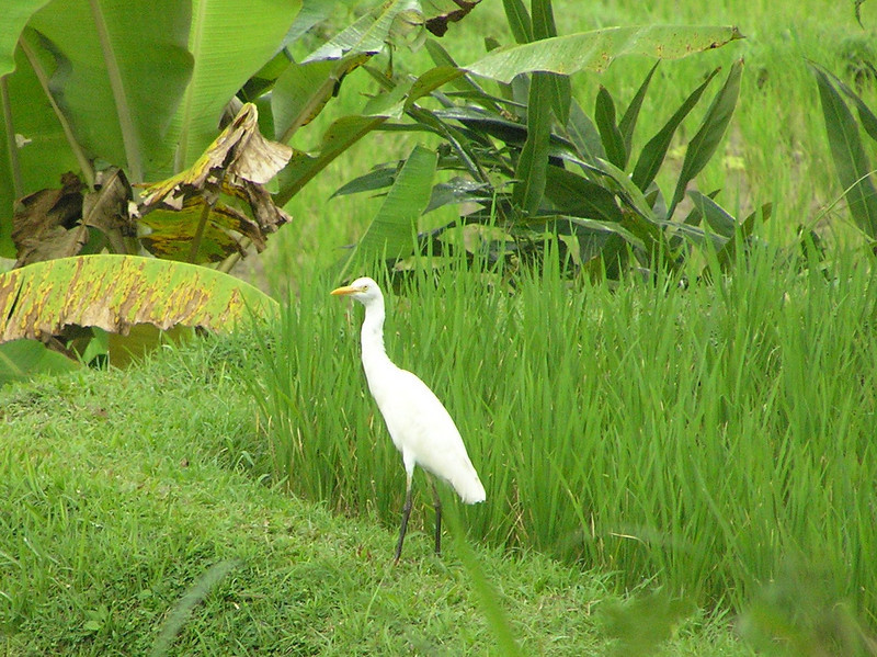 cattle egret bali aug 2010