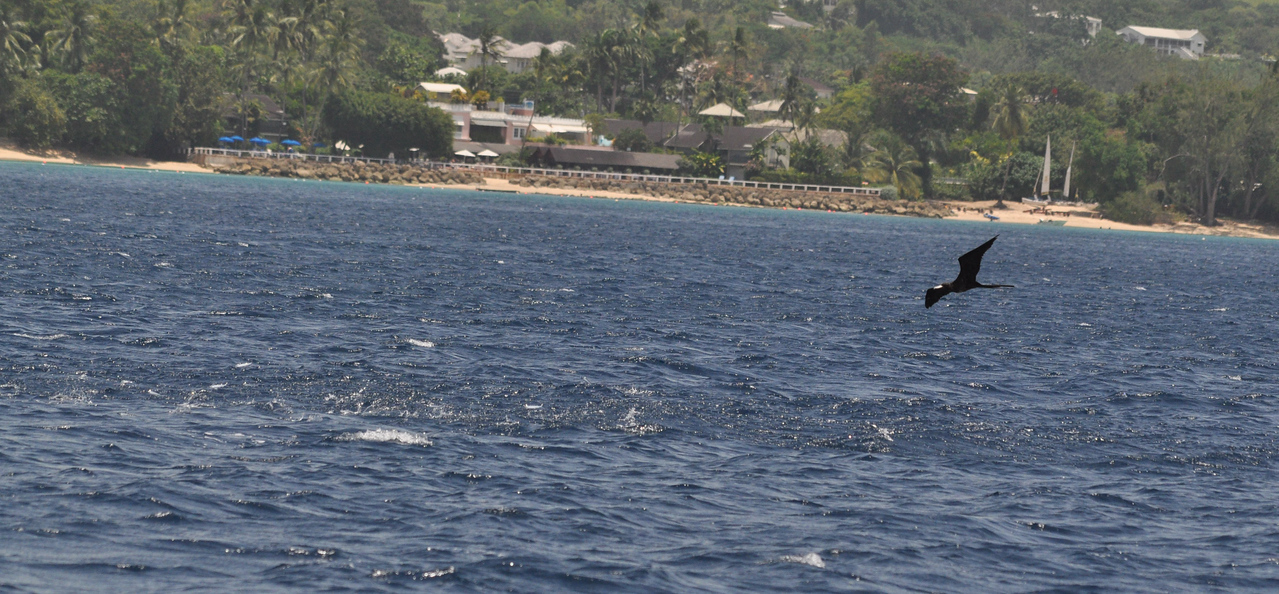 Frigate chasing flying fish Barbados August 2011