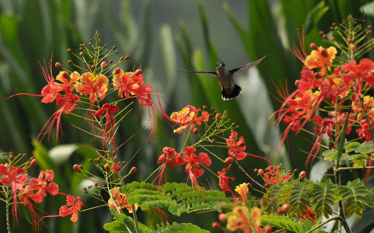 Antillean Crested Hummingbird 2 Barbados Flower Forest August 2011