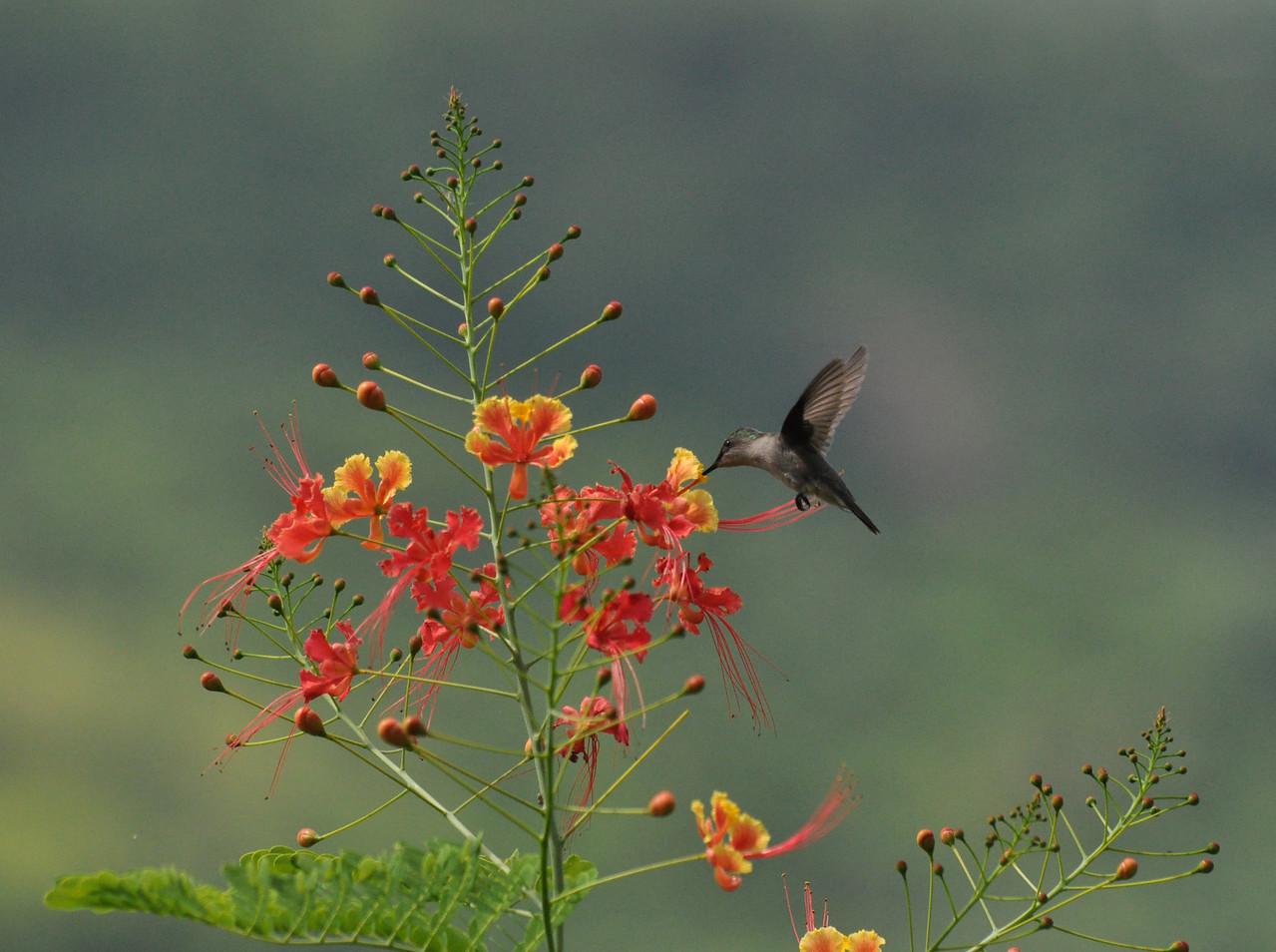 Antillean Crested Hummingbird Barbados Flower Forest August 2011